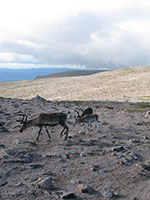 Reindeer on the summit of Ben Macdui
